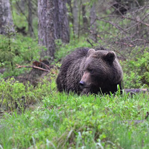 Estonia Bird Tour - Brown Bear
