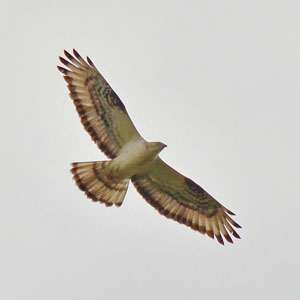 Estonia Bird Tour - Honey Buzzard