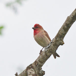 Estonia Bird Tour - Common Rosefinch