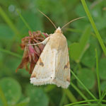 Bordered Straw - Outer Hebrides Moths