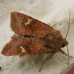 Ear moth species