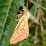 Ghost Moth (female)