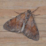 Pine Carpet - Outer Hebrides Moths