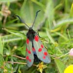 Six-spot Burnet - Outer Hebrides Moths