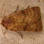 Six-striped Rustic