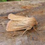 Small Wainscot