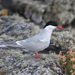Arctic Tern, South Uist