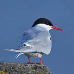 Arctic Tern, Outer Hebrides