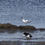 Avocet, South Uist