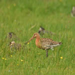 Black-tailed Godwit, North Uist