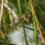 Emerald Damselfly in South Uist