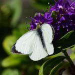 Large White butterfly, Outer Hebrides
