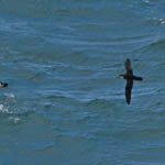 Manx Shearwater, Outer Hebrides