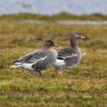 Pink-footed Goose with Greylag