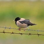 Rose-coloured Starling, Ardvule