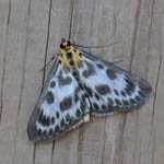 Small Magpie moth, Outer Hebrides moths