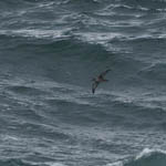 Sooty Shearwater, North Uist