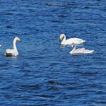 Whooper Swans in South Uist